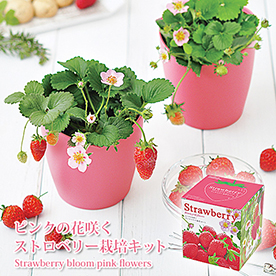 四季なりピンクの花咲くストロベリー栽培セット